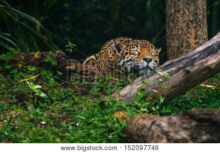 Beautiful leopard sleeping deep in the forest
