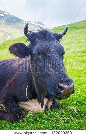 The portrait of a black cow on the pasture at the foot of Kazbek Mount Kazbegi National Park Georgia.