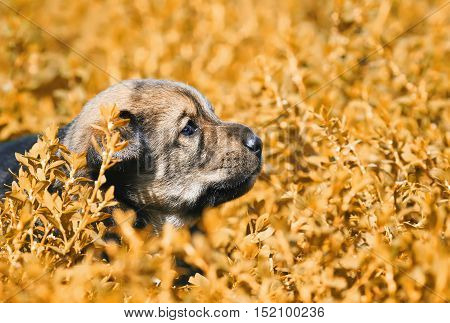 little puppy with sad eyes sitting in the bright yellow grass