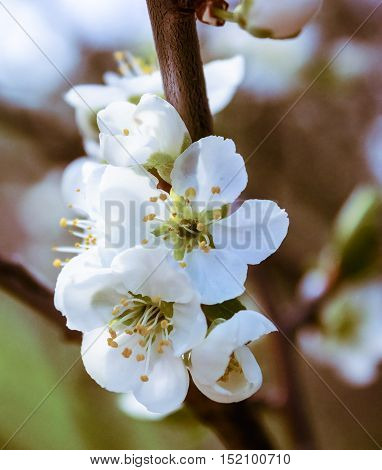 Delicate white cherry blossoms May afternoon. Close up. Added noise. Art photography.