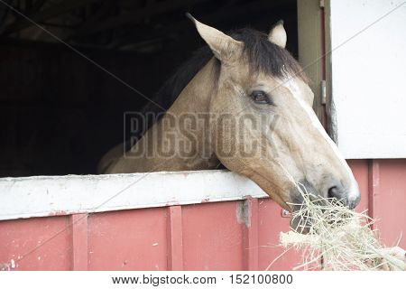 A closeup of chestnut  horse eating hay in farm