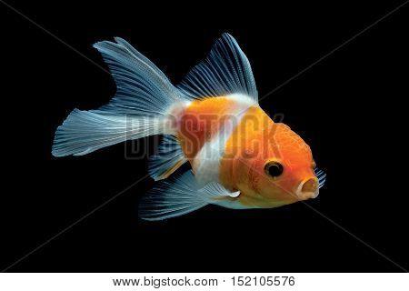 Fish bowl beautiful motion in aquarium black background