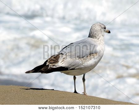 The gull on the beach in South Bethany Usa April 24 2016
