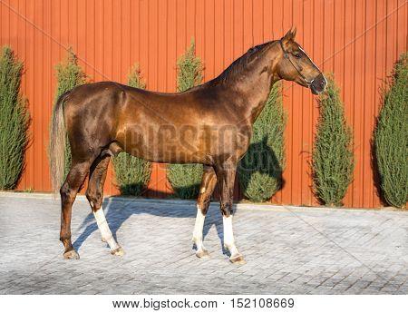 Dark golden horse stay on red background