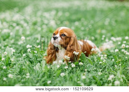 Nice little dog lying on the grass. Cavalier King Charles spaniel. Attractive dog of small breed. Excellent friendly pet and companion.
