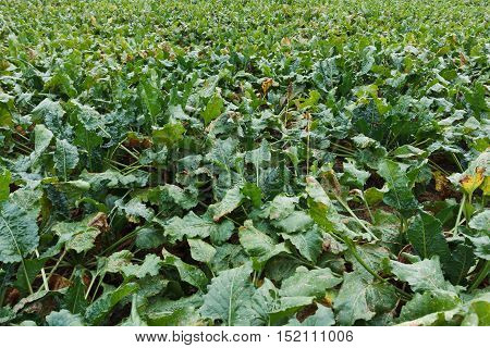 Agricultural field on which grow beet in drought sluggish beet close-up