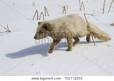 Commanders blue arctic fox sneaking across the snow to the fishermen