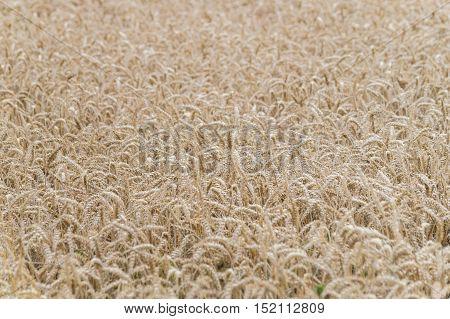 A cornfield on a beautiful sunny day