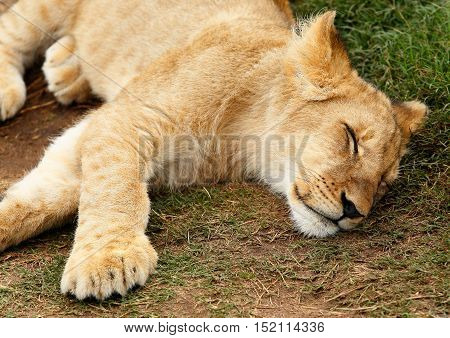 Young lion lying down sleeping in the shade of a tree