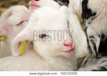 Close-up of a little lamb.