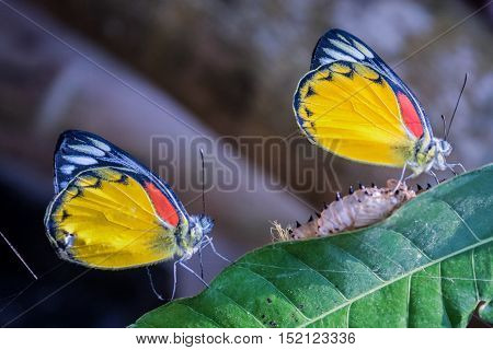 Two Yellow Butterfly Molt Perch On Green Leaves.