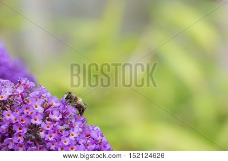 British Hoverfly feeding on a Buddleia flower. Also known as Flower Flies in America. There are over 270 species in the UK many are beneficial to gardeners as the larvae feed on pests such as aphids. They are true flies with two wings. Copy space.