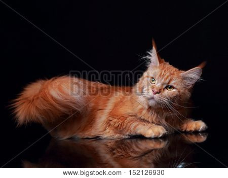 Female Red Solid Maine Coon Cat Lying With Beautiful Brushes And Long Tail On The Ears On Black Back