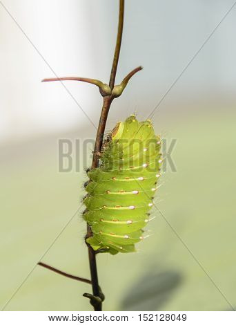 A larva of the polyphemus moth also known as a Giant Silk Moth, climbing a twig.