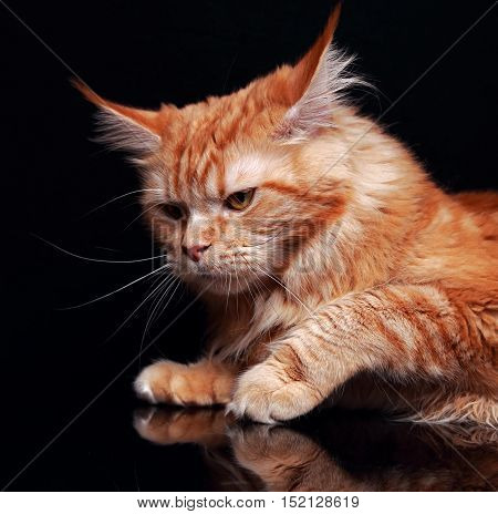 Female Red Solid Maine Coon Cat With Beautiful Brushes On The Ears On Black Background. Closeup Cont