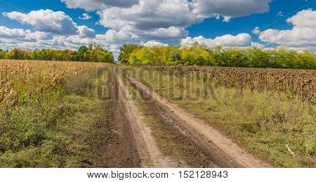 Autumnal landscape with earth road between maize and sunflower fields in central Ukraine