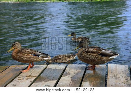 some brown ordinary mallard walk on the wooden pier on the river closeup foreground