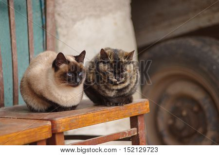 Two cats (tabby and siamese) sitting on an old chair and having rest