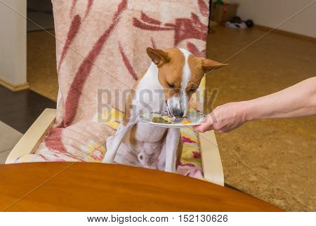 VIP servicing of spoilt child of fortune (Basenji dog) in own restaurant