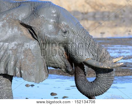 Close up of a full head and trunk of an elephant drinking