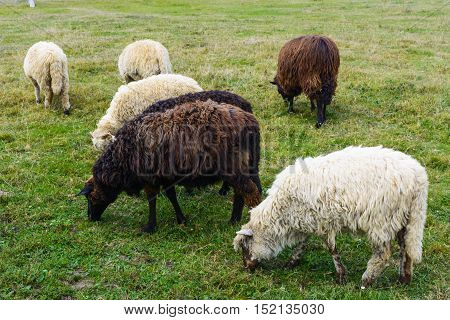 Sheep - this is a domesticated form of wild mountain sheep