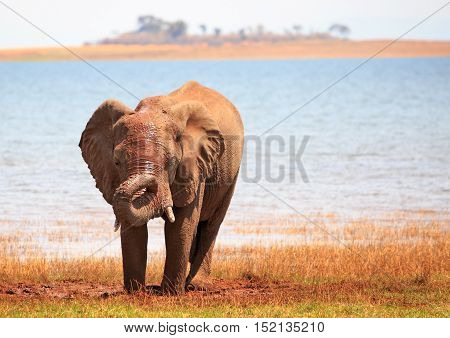 Elephant on the shoreline of Lake Kariba with his trunk wrapped around face bathed in sunlight