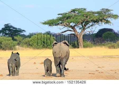 Family of elephants walking away towards an acacia tree in Zimbabwe