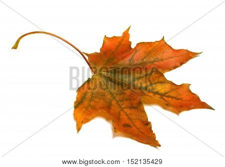 Autumn Maple Leaf I