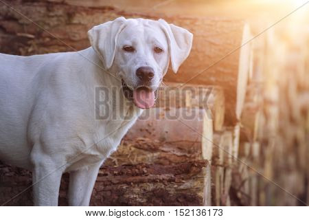 Cute Labrador Retriever dog in the sun at autumn standing on some tree trunks