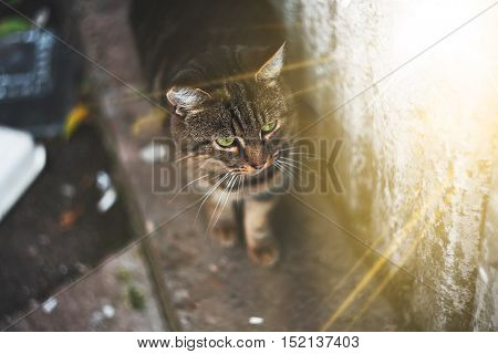 Cute gray cat with green eyes is walking on a sunny day.