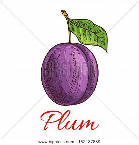 Sketched purple plum fruit isolated icon with green leaf and stem. Juice and food packaging, organic farming, healthy garden fruit design