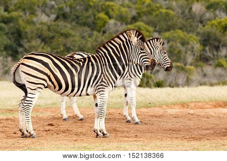 Burchell's Zebras Standing Together