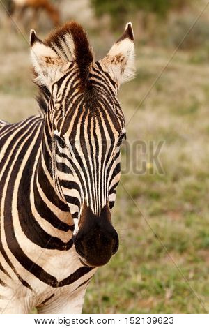 Pin sharp close up of a Burchell's Zebra standing in the field.