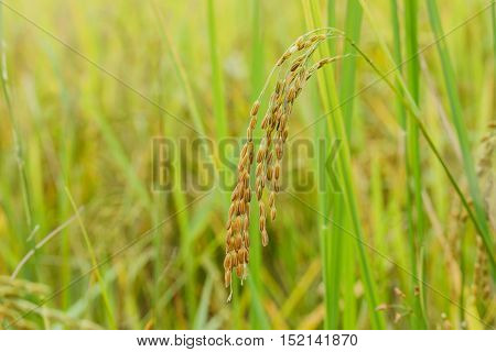 ear of paddy rice in rice fields