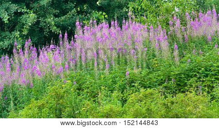 Fireweed (Epilobium angustifolium). Loose blossoms Ivan tea in the meadow