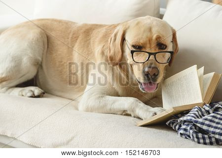 ingenious funny dog wearing glasses and reading book on a sofa, exams and research concept