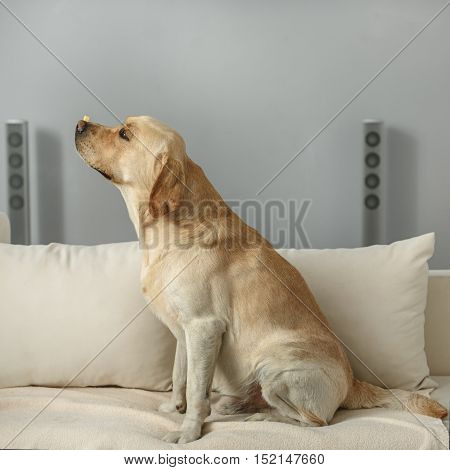 good work boy, calm labrador retriever sitting on a couch with a cheese
