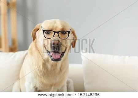 smart labrador in glasses preparing to exams and looking into camera