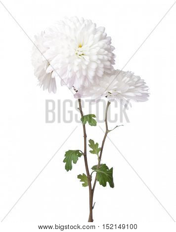 Chrysanthemums isolated on white background.