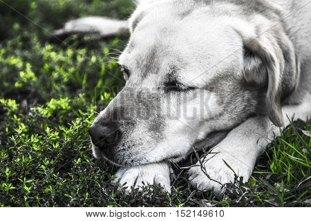 a beautiful labrador dog while resting in the garden