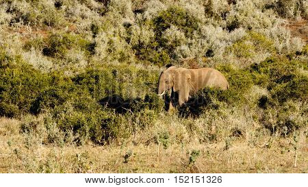 Big Field With An African Bush Elephant