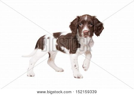Dutch partrige dog, Drentse patrijs hond, in front of a white background