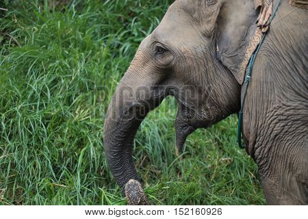 a wild elephant is eating grass alone