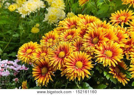 closeup of colorful chrysanthemum flowers in bloom