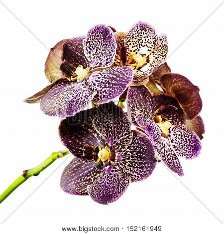 Dark tiger orchid isolated on white background. Closeup.