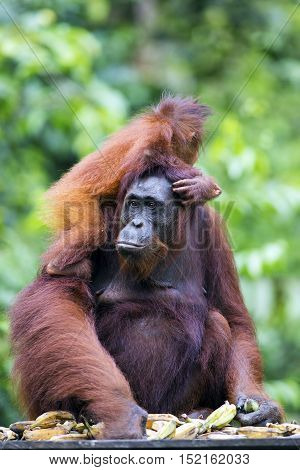 Female and her baby orang-utan in their native habitat. Rainforest of Borneo.