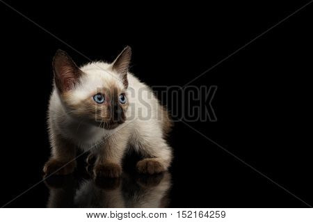 Crouched Mekong Bobtail Kitten with Blue eyes, Looking Curious, Isolated Black Background with Reflection, Color-point Thai Fur