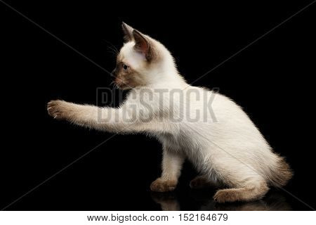 Playful Mekong Bobtail Kitten with Blue eyes, Raising paw, side view, Isolated Black Background with Reflection, Color-point Thai Fur