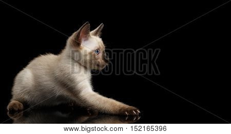 Playful Mekong Bobtail Kitten with Blue eyes, side view, Isolated Black Background with Reflection, Color-point Thai Fur