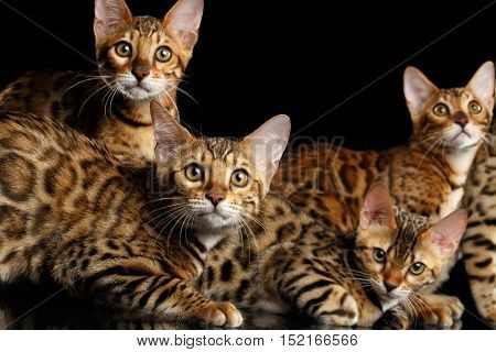 Group of Five Adorable Bengal kittens isolated on Black Background
